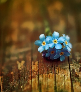 blue, flower and forget-me-not