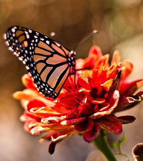 butterfly, flower and monarch