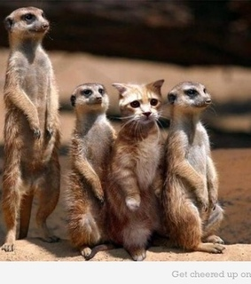 cat, funny and meerkat