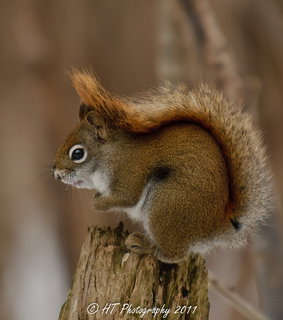 bois papineau, red squirrel and squirrel
