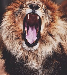 animal, cute and lion