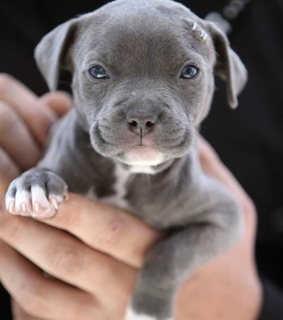 blue moon, dog and pit bull