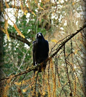 animal, black bird and forest