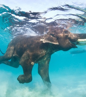 blue, diving and elephant