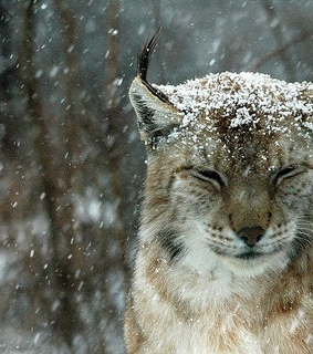 animal, lynx and nature