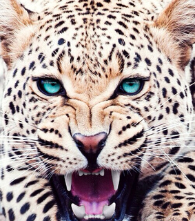 animal, blue and cheeta