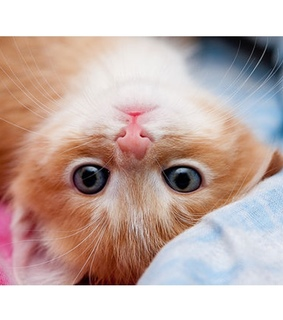 animals, blue eyes and cat