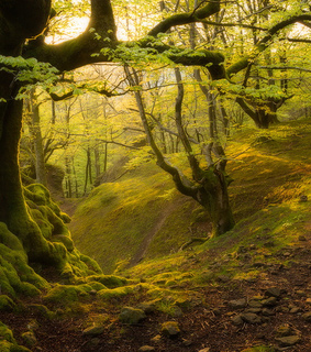 beech, fairytale and forest