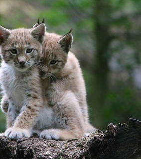 baby animals, big cats and cute animals