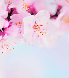 bloom, cherry blossom and flowers