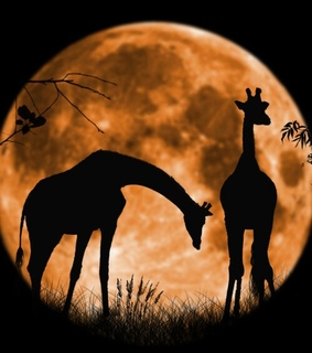 couple in love, full moon and giraffes