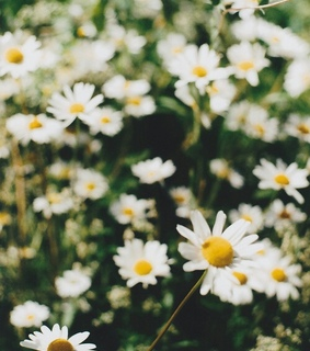 flowers, nature and margarets