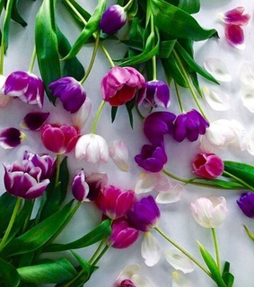 white tulips, spring and purple tulips