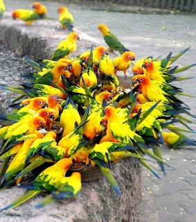parrots, yellow and yellow parrot