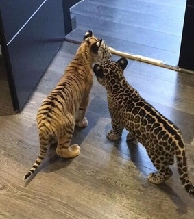 cats, cheeta and cub