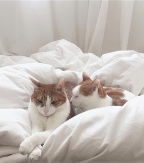 white sheets, ginger cats and pets