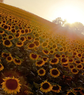 flower field, nature and vintage