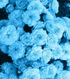 blue roses, blue and aesthetic flowers
