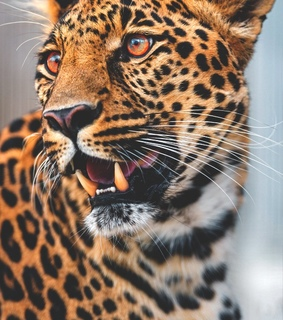 animales, leopardo and naturaleza