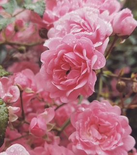 beauty, spring and rose