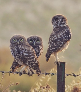 birds, owls and photography