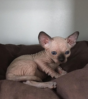 sphinx cat, kitty and sphynx cat