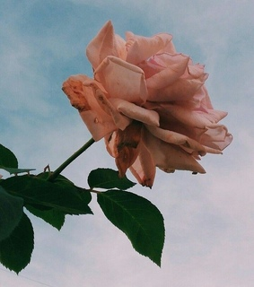 photography, flower and rose gold