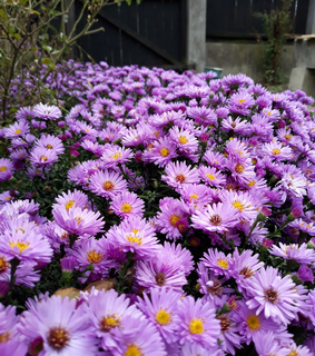 flowers, purple and autumn