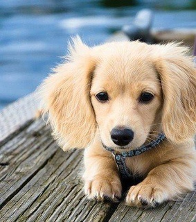 sweet puppy, puppy love and golden retriever