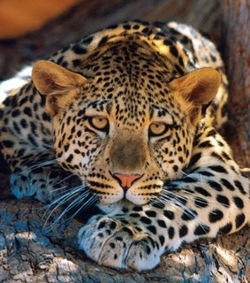 leopardo, naturaleza and felino