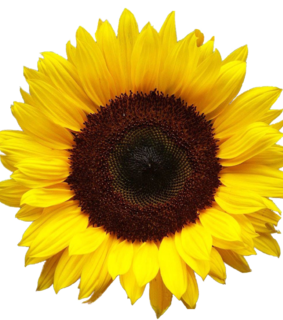 sunflower, flower and png