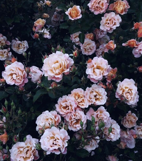 aesthetic, flowers and roses