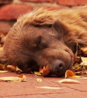 leaves, puppy nap and sleepy