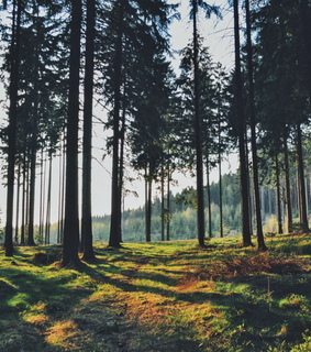 forest, sun and peace