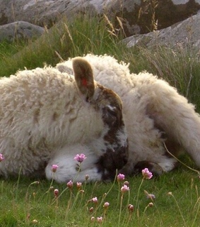 cattle, sheep and faerie