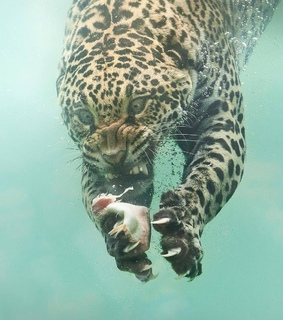animales, naturaleza and leopardo