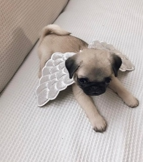 bug, cute and little dog