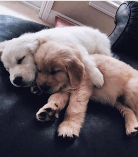 retriever, goldenretriever and sleepy
