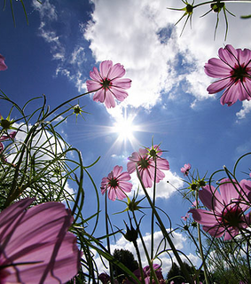 blume, photography and pink
