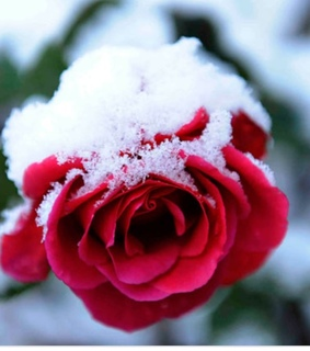 merrychristmas, snow and rose