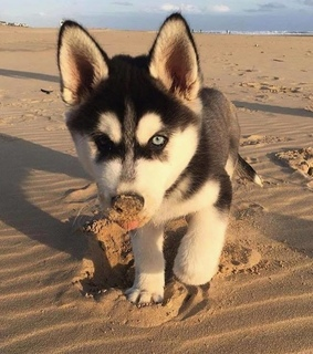 cutest things, husky and dog lover