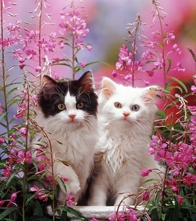 lindos, tuxedo cat and pink flowers