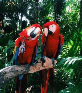 red, parrot and bird