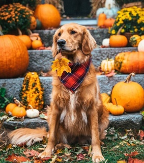 pumpkins, fall and dogs