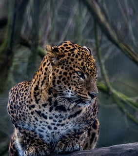 leopardo, animales and belleza
