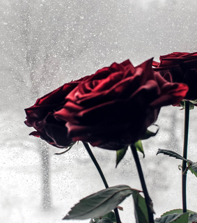 rose, red and januar