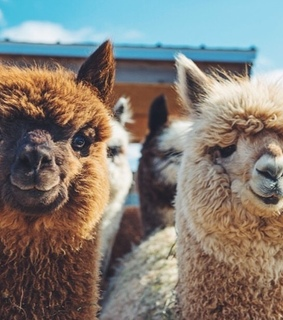 llama, fluffy and peru