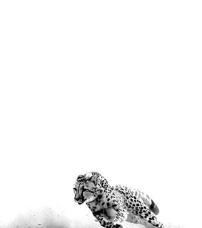 black and white, photography and tiger