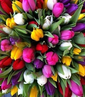 colors tulips, spring flowers and nature