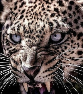 leopardo, naturaleza and mirada